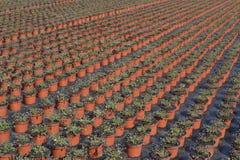 Lobelia o Campanulaceae di lobelia nel commercio all'ingrosso. Fotografia Stock