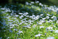 Lobelia Pedunculata small flowers in the wild Royalty Free Stock Photography