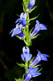 Lobelia, plante médicinale des Indiens d'Amerique Photo libre de droits