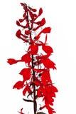 Lobelia vermelho Imagem de Stock Royalty Free