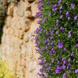 Lobelii erinus magenta mali purpurowi kwiaty Obraz Royalty Free