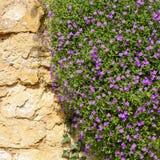 Lobelii erinus magenta mali purpurowi kwiaty Zdjęcia Stock