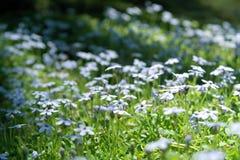Lobelii Pedunculata mali kwiaty w dzikim Fotografia Royalty Free