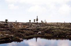 Lobella plants. The lobella plants in the bale national park in ethiopia stock image