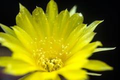 Lobivia Arachnacantha Στοκ Εικόνα