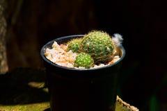 Lobivia sp , kaktus på krukan Tolerant växt för torka royaltyfri foto
