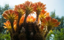 Lobiviacactus die, Cactuslobivia met ge?soleerde bloem bloeien stock foto's