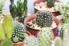 Lobiviacactus in pot Stock Afbeeldingen