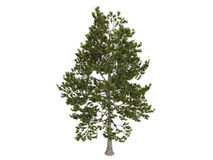 Loblolly_pine_(Pinus_taeda) Stock Photo