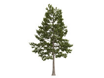 Loblolly_pine_(Pinus_taeda) Stock Photos