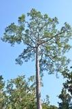 Loblolly pine Royalty Free Stock Photo