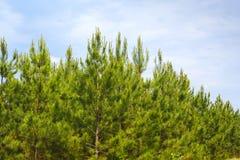 Loblolly Pines Stock Photo