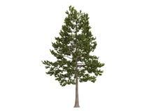 Free Loblolly_pine_(Pinus_taeda) Stock Photos - 11629773