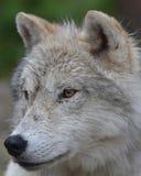 Lobo árctico Fotografia de Stock