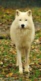 Lobo ártico Imágenes de archivo libres de regalías