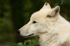 Lobo ártico Fotografia de Stock