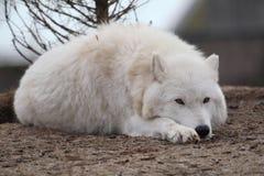 Lobo ártico foto de stock
