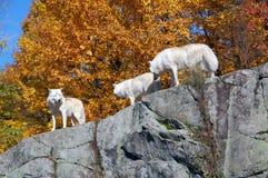 Lobo ártico Imagen de archivo