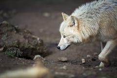 Lobo ártico Imagen de archivo libre de regalías