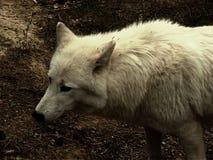 Lobo ártico Fotos de archivo libres de regalías
