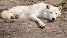 Lobo ártico adulto Foto de Stock