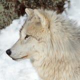 Lobo ártico adulto Fotografia de Stock