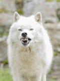 Lobo ártico agresivo Imágenes de archivo libres de regalías
