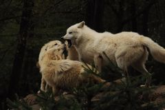 Lobo ártico (arctos do lúpus de Canis) fotos de stock royalty free