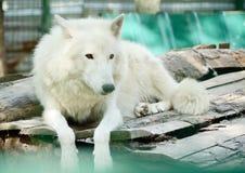 Lobo ártico blanco salvaje Tundrarum del lupus de Canis animal en un parque zoológico Imagen de archivo libre de regalías
