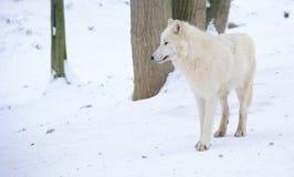 Lobo ártico branco Foto de Stock Royalty Free