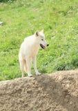 Lobo ártico branco Imagem de Stock Royalty Free