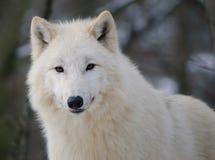 Lobo ártico branco em uma floresta do inverno Fotos de Stock Royalty Free