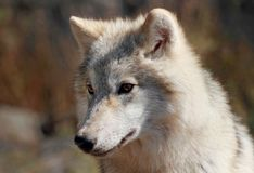 Lobo ártico durante otoño Fotos de archivo