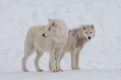 Lobo ártico en la nieve Imagen de archivo