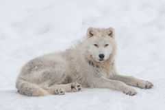 Lobo ártico en la nieve Fotos de archivo