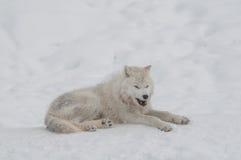 Lobo ártico en la nieve Imágenes de archivo libres de regalías