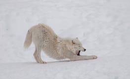 Lobo ártico en la nieve Foto de archivo