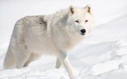 Lobo ártico en la nieve que mira la cámara fotos de archivo libres de regalías