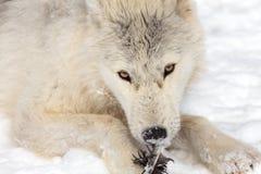 Lobo ártico juvenil Imagem de Stock Royalty Free