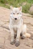 Lobo ártico juvenil Fotos de Stock