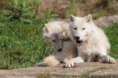 Lobo ártico juvenil com mãe Imagem de Stock