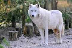 Lobo ártico na floresta Imagem de Stock Royalty Free