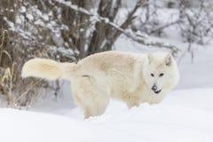 Lobo ártico na neve Fotos de Stock Royalty Free