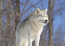 Lobo ártico na rocha fotos de stock royalty free