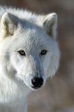 Lobo ártico na rocha que boceja Imagens de Stock