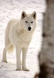 Lobo ártico no inverno Fotos de Stock Royalty Free