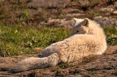 Lobo ártico que goza del sol, Quebec, Canadá Foto de archivo