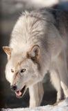 Lobo ártico que Snarling Imagens de Stock Royalty Free