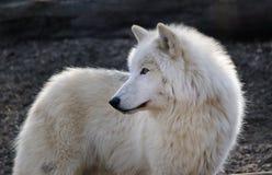 lobo ártico uma floresta Fotografia de Stock Royalty Free