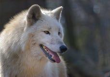 lobo ártico uma floresta Imagens de Stock Royalty Free